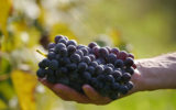 Eating grapes can help prevent Alzheimer's and boost memory