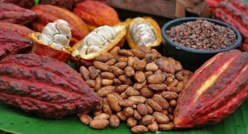 cropped The flavor of chocolate is developed during the processing of the cocoa beans
