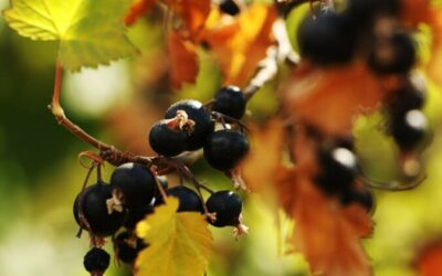 Blackcurrants are favorable for glucose metabolism